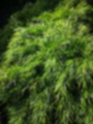 acacia cognata Landscaping Melton.jpg