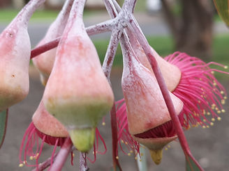 Native Gardens Eucalyptus Caesia.jpg