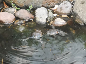 Eastern Banjo frog males fighting.jpg