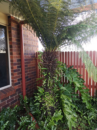 Landscaping Melton Soft Tree Fern Dickso