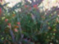 Melton Landscapers acacia glaucoptera.jp