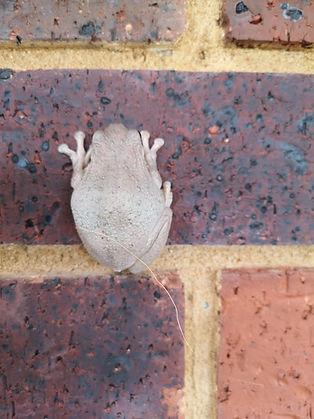 Landscaping Melton Perons tree frog.jpg