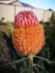 Banksia hookeriana5.jpg