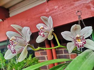 cymbidium orchids.jpg