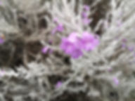 Eremophila Nivea.jpg