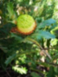 Banksia heliantha dryandra quercifolia.j