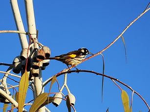 decking Melton New holland honeyeater.jp