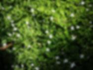 Pratia pedunculata.jpg