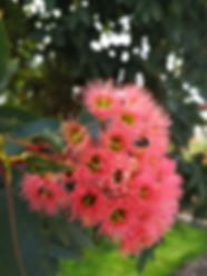 corymbia ficifolia Red Flowering Gum.jpg