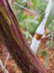 Pergolas Melton Eucalyptus Caesia.jpg