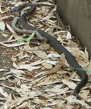 Native Gardens Melton Tiger Snake.jpg