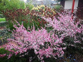Pink Tea tree Landscaping Melton.jpg