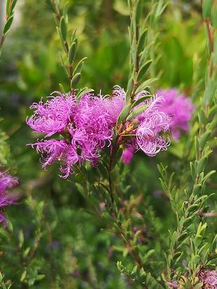 melaleuca violacea flower.jpg
