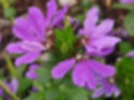 Scaevola purple.jpg