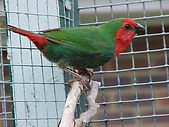 Red Faced Parrot finch, Backyard avairy