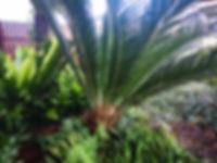 Landscapers Cycas revoluta Japanese sago
