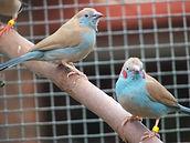 Cordon blue finch, Cordon blue waxbill, Cordon.