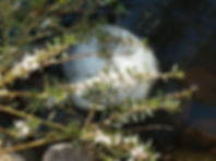 Bacchus Marsh Landscaping frog spawn.jpg