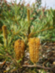 banksia ericifolia dwarf.jpg
