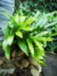 Landscaping Melton Phymatosorus pustulat