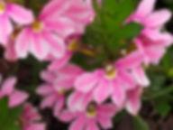 Scaevola pink.jpg