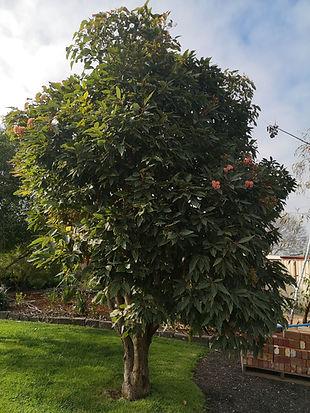 corymbia ficifolia Red Flowering Gum5.jp
