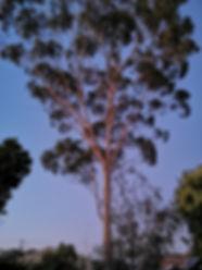 corymbia citriodora2.jpg