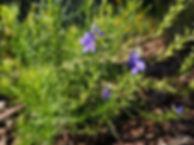 veronica species 2.jpg