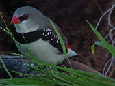 Diamond Firetail, Australian Finch,