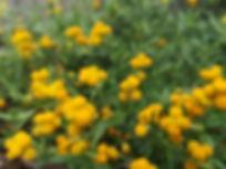 Chrysocephalum apiculatum.jpg