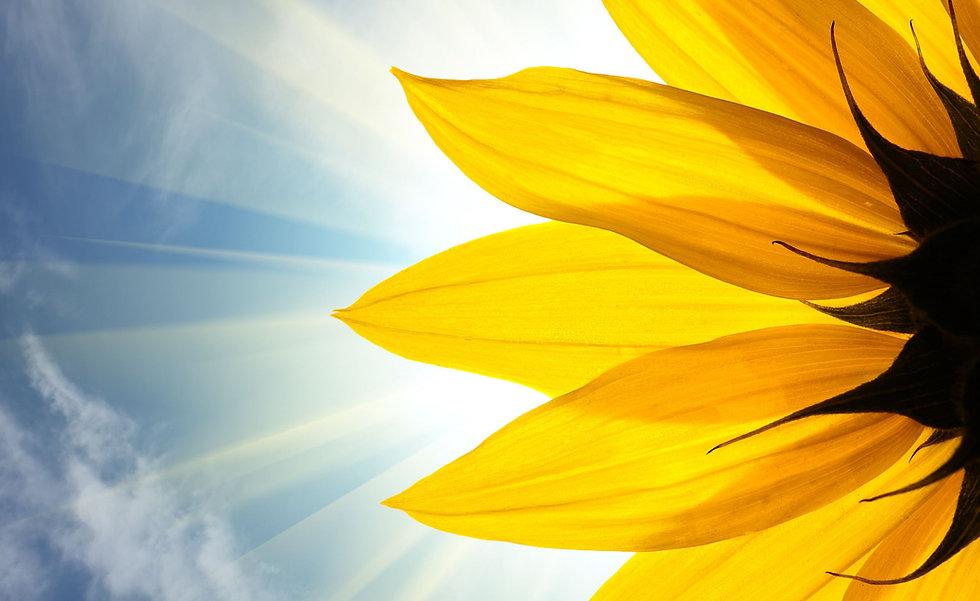 Radiant prana sunflower.jpg