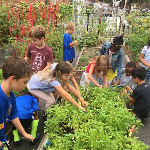 students harvesting basil