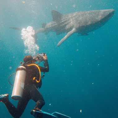 Whale shark filming in Nabire