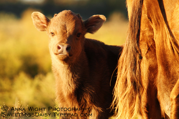 Dexter calf in the early morning golden sunlight
