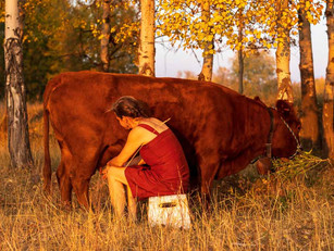 """Transitioning An Older Cow To A """"Family Milk Cow"""""""