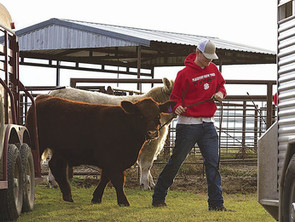How to Haul Long Distances and Keep Your Cattle Healthy