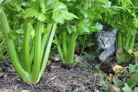 Celery image.jpg
