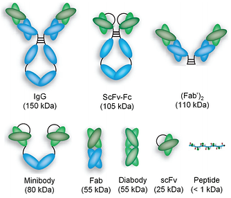 Intact_antibodies_and_a_variety_of_antib