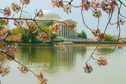 Cherry Blossoms At The Jefferson
