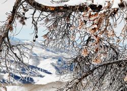 Crystal Pines
