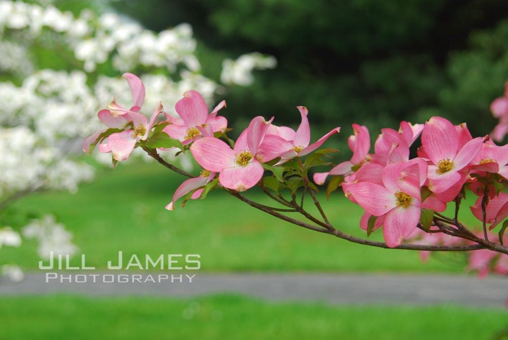 Pink Branch