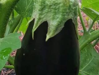 Eggplant---But I don't like eggs?