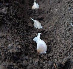 Its Time To Grow Garlic