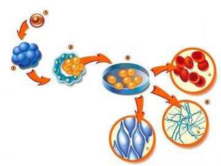 الخلية الجذعية