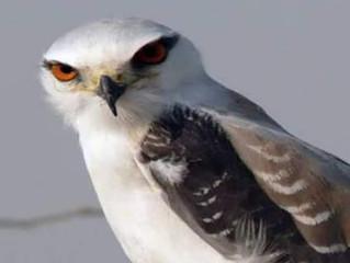 طائر الحدأة..
