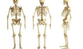 الهيكل العظمي لجسم الإنسان