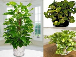 نبتة منزلية لتنقيةِ الهواءِ من (البنزين ) و(الكلوروفورم)