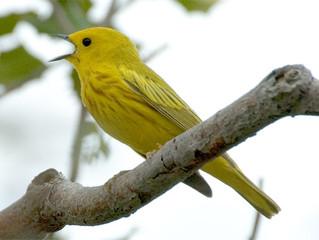 تغريد الطيور وتفسيره العلمي
