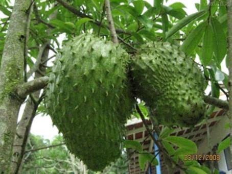 شجرة جرافيولا.. Graviola Tree..  وعلاج السرطان