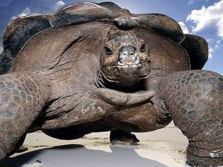 Programa en Galápagos protege a nueva especie de tortugas